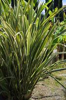 der schöne, immergrüne BERGFLACHS ist winterhart und ideal für den Dachgarten !