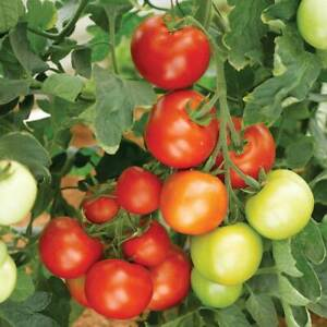 Tomato moneymaker 10 seeds