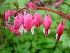 Bleeding Heart Seeds - PINK - Unusual Heart Shaped Flowers- Heirloom - 15 Seeds