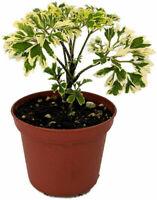 "Pellionia pulchra 2.5/"" Pot Polynesian Ivy Vine Terrarium//House Plant"