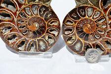 "Cut Split Pair RARE ANAPUZOSIA Ammonite D-shaped LARGE 98mm Fossil 3.9"" n8526"