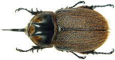 Insect - Heterogomphus hirtus - C.Peru - Medium Male 40~45mm ....!!