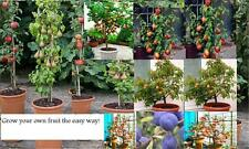 3 X fruit TREES}Cherry tree,Plum tree+apple,pot grown,ideal for patio if potted