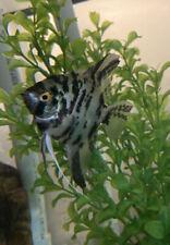 """Live 5"""" Large Angelfish (Exact Fish In Picture) Home Aquarium"""