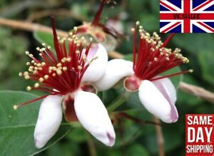 Pineapple Guava (Acca Feijoa Sellowiana) 20 Fresh Seeds July21 Same Day Dispatch
