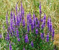 SAGE BLUE Salvia Farinacea - 5,000 Bulk Seeds