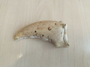 Real Natural Part of Lobster Claw For Art Design Handle Nr. 9919