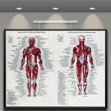 muscular system MEDICAL EDUCATIONAL POSTER 24X36 scientific BODY detailed YY1