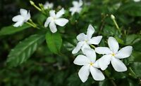Tabernaemontana divaricate Crepe Jasmine seeds Attracts Butterflies Aromatic