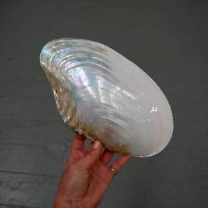 Pearlized Mussel Shell Half Large 10-12 Inch Polished Seashell Mother of Pearl