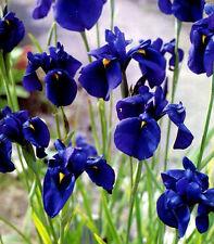 5 Iris kaempferi ensata Blue White Pink water plant aquatic pond marginal flower