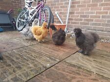 6 Hatching  Silkie Eggs- Adorable little fluffies-mix of clolours