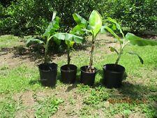 Live Raja Puri cold hardy banana plants 2-3 ft. Shipped bare root w/some soil.
