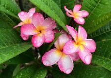 """/""""VILAWAN II/"""" FRAGRANT Plumeria Cutting Healthy Plant Fresh 7-12 INCH+ROOTED"""