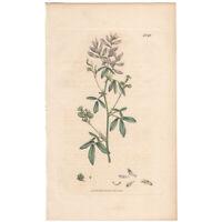 Sowerby antique 1st ed 1795 hand-colored engraving botanical Pl 1749 Medick