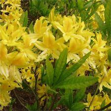 Rhododendron Luteum in 9cm pot yellow scented deciduous azalea