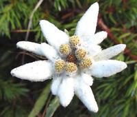 EDELWEISS Leontopodium Alpinum - 2,500 Bulk Seeds