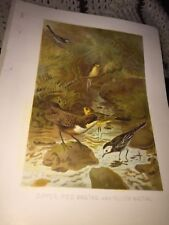 VINTAGE SMIL DIPPER,PIED WAGTAIL AND YELLOW WAGTAIL LITHOGRAPH PRINT