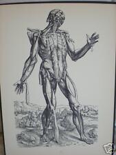 vintage MEDICAL PRINT male human ANATOMY frontal view