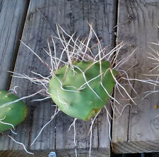 Opuntia sulphurea A Clone Extra Long and Curly White Spines 1 Pad