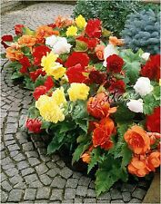 4 DOUBLE BEGONIAS GARDENING BULB CORM BEAUTIFUL SPRING SUMMER FLOWER PERENNIAL
