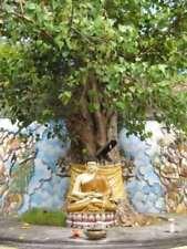 Buddha Albero FICUS RELIGIOSA 1000 SEMI BONSAI-adatto