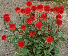 Echinacea Seeds - CINNAMON CUPCAKE - Dwarf Hybrid - MEDICINAL HERB - 30 Seeds