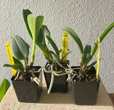 New listing 3 Cattleya Orchids - Young Plants