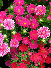 CHINA ASTER Callistephus Flower Seeds MIXED COLORS  (10 seeds) F-103
