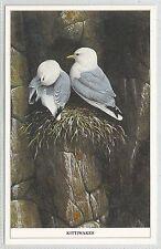 animals birds postcard bird animal kittiwakes