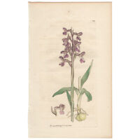 Sowerby antique 1st ed 1809 hand-colored engraving botanical Pl 2059 Orchid