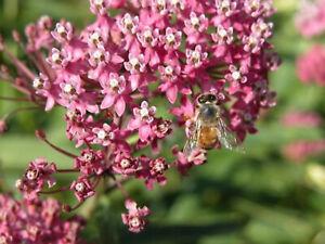 35 Swamp Rose Milkweed Pink Flower MEDICINAL HERB PERENNIAL FREE SHIP