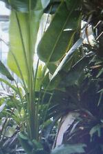 10 Samen südamerikanischer Baum der Reisenden,Phenakospermum guyannense  #843