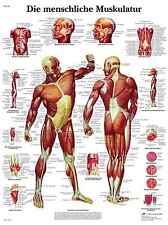 menschliches Muskelsystem Muskulatur Lehrtafel  Anatomie 50 x 67cm Poster