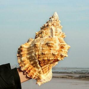 Natural Large Conch Shells Coral Sea Snail Fish Tank Home Ornament Gift