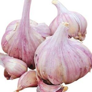 Spanishe Knoblauch 'Ajo morado: starker Geruch und scharfer Geschmack 10 Samen