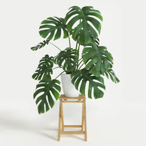 Swiss Cheese Plant, XXXXL Giant (Monstera deliciosa) 70CM Delivered to your door