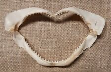 More details for shark's jaw 8+ inch i