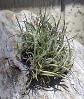 Tillandsia Crocata v Tristis Clump Fragrant Air Plants
