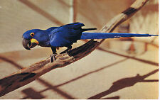 Vintage SAN DIEGO ZOO California HYACINTHINE MACAW B-6 Color Postcard UNUSED