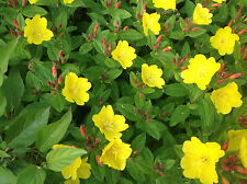 (12) Easy To Grow Perennial Sundrops (Primrose), 12  Plants, Yellow Flowers