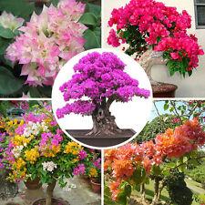100pcs/bag Mixed Color Bougainvillea Bonsai Flower Plant Seeds Home Garden Decor