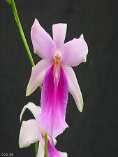 Miltonia Cogniaux Prolfic Blush Pink Orchid