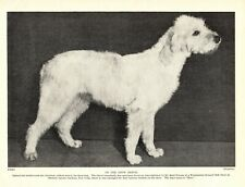 "1930s Antique Spinone Italiano Dog Print ""Mery"" Vintage Photo 3428-Cc"