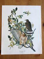 Vintage Broad-Winged Hawk Audubon Reproduction Bird Art Botanical Art Print