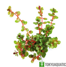Rotala Indica Live Aquarium Plants Decoration Freshwater Aquartic Fish Tank Stem