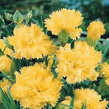 Clove Flower Seeds Dianthus Yellow from Ukraine