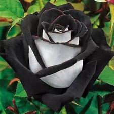 200Pcs Rare White + Black Rose Flower Seeds Home 4mm Plant Garden Bonsai Punk