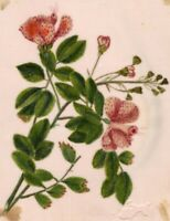 Pale Pink Flowers Pith Painting – Early 19th-century watercolour painting
