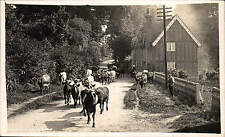 Letchworth Lane. Cattle.
